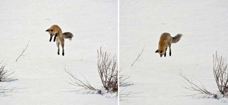 zorro de color rojo brincando en la nieve
