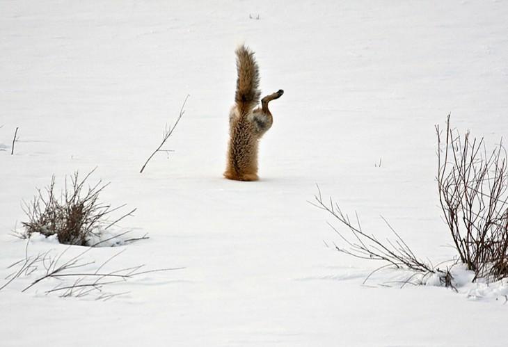 zorro que esta metiendose en la nieve