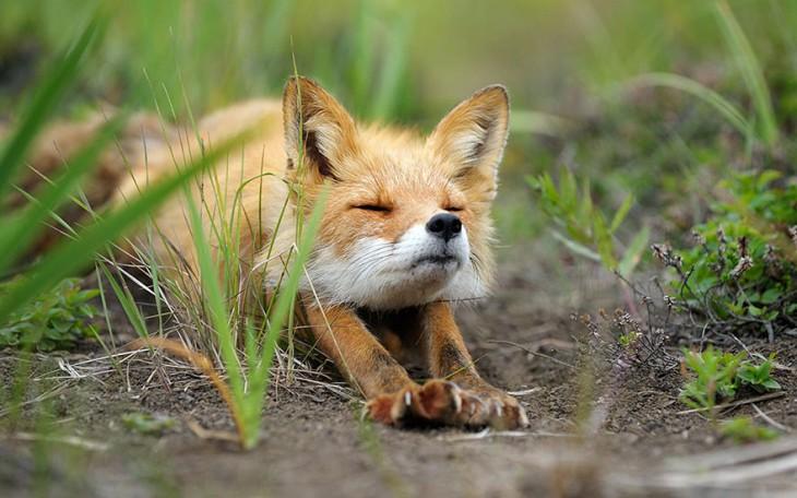 zorro de color miel estirandose en el campo