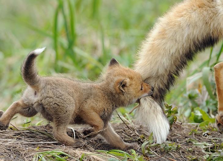 zorrito agarrado de la cola de su mama