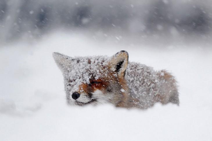zorro de color rojizo cubierto de nieve