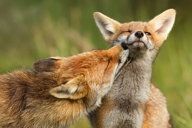 dos zorros uno dandole un beso al otro
