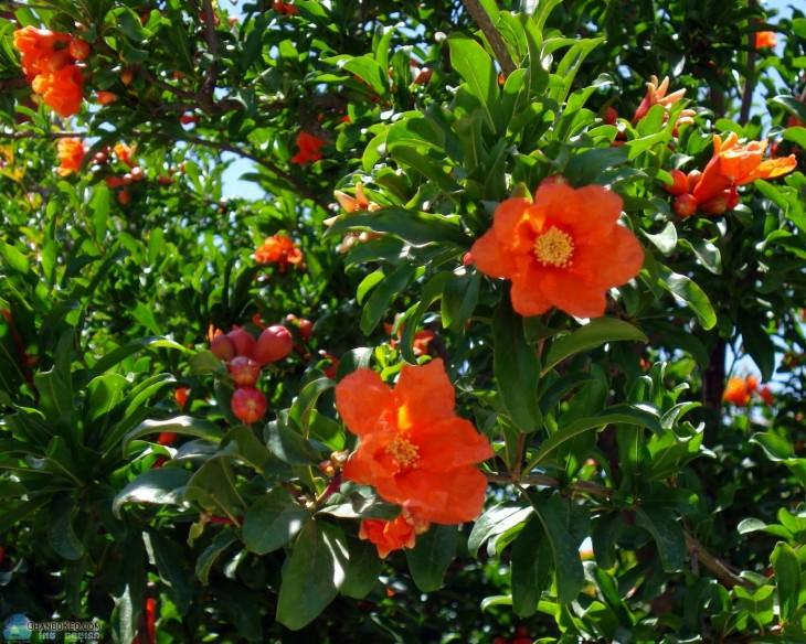 flor de arbol de granadas