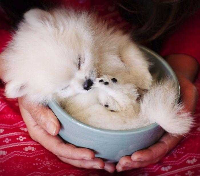 perro pomerano de color balnco dentro de una taza