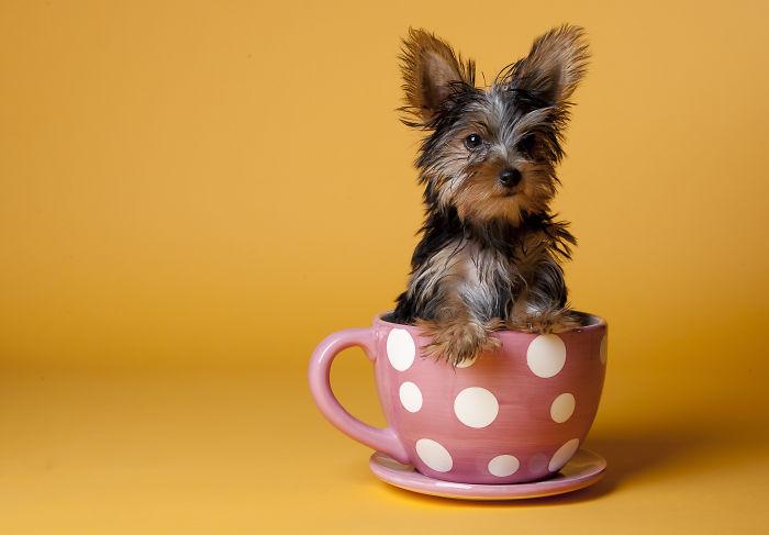 perrito yorkshire dentro de una taza rosa con puntos blancos