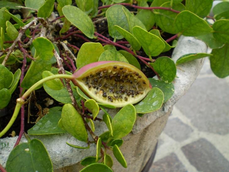 fruto con semillas de Alcaparras