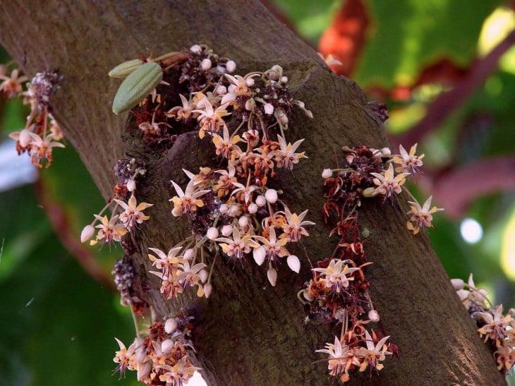 flores de cacao