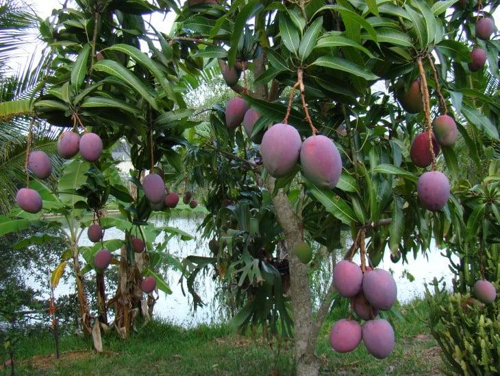 Planta de mangos