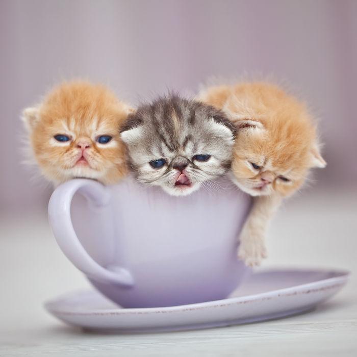 tres gatitos dentrp de una taza