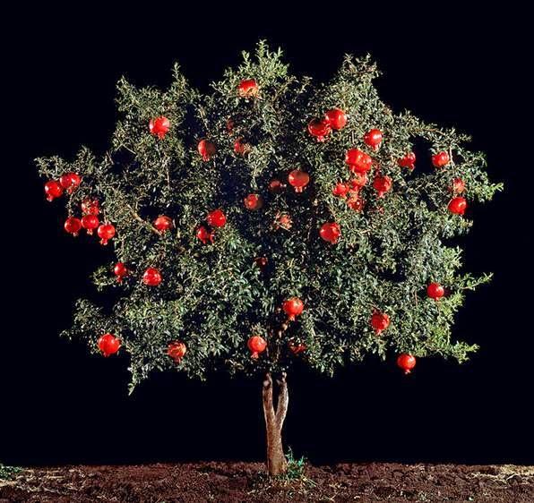 arbol de granadas