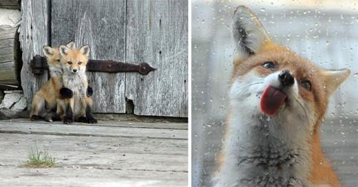 imagenes que te ennamoraran de los zorros