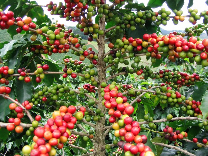 fruto de granos de Café