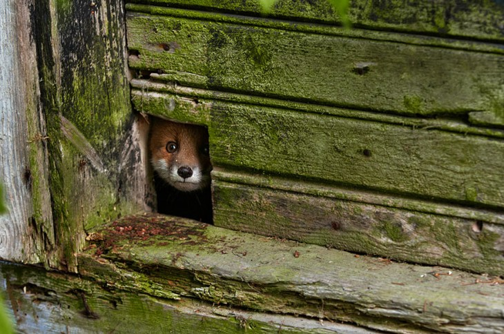 zorro asomandose por una puerta de madera