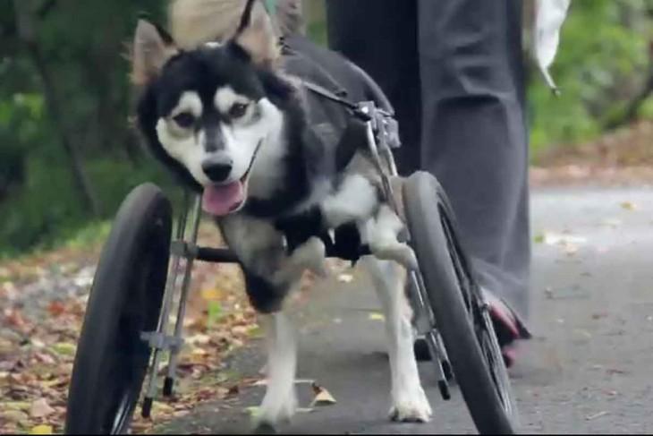 pero husky en silla de rueda