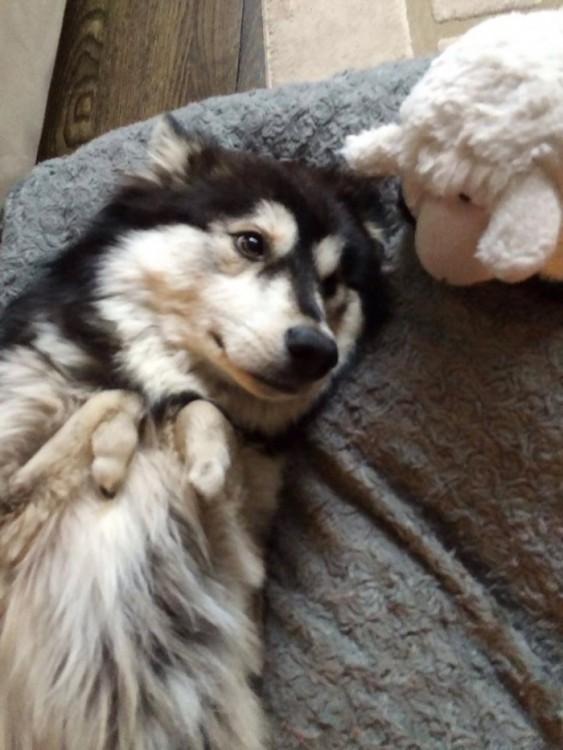 perro husky con patas deformes