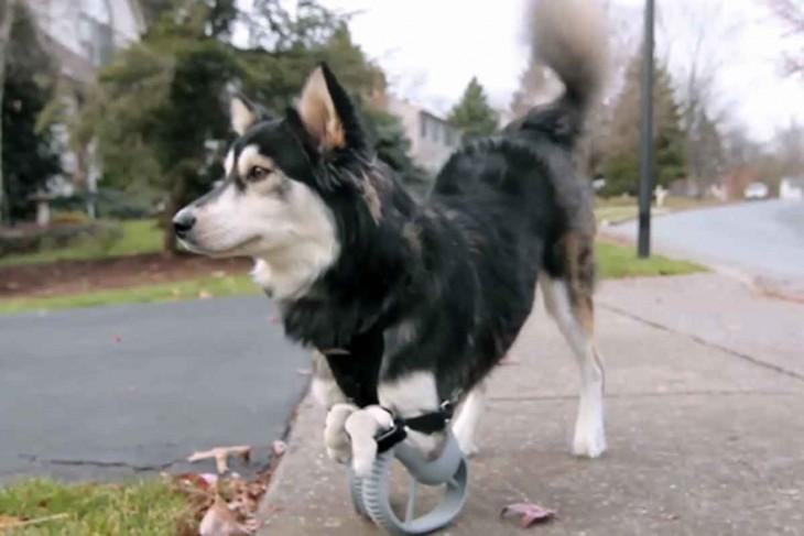 perro husky usando la prostata 3d