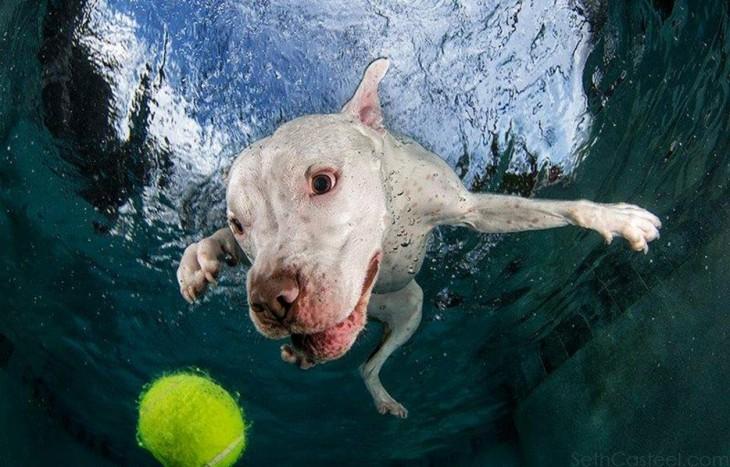 perro dogo blanco debajo del agua con pelota