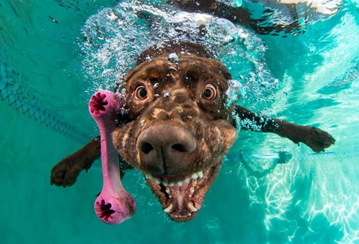 labrador marron debajo del agua con pelota