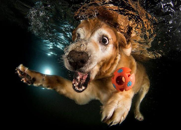 perro labrador debajo del agua con pelota