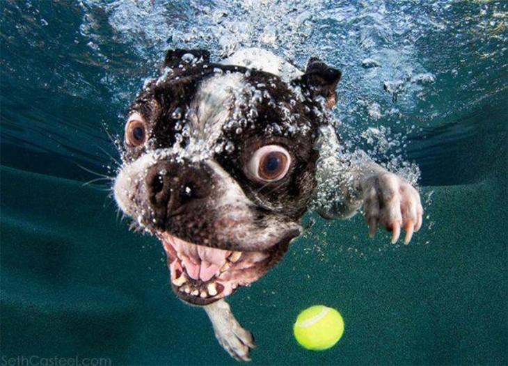perro pug debajo del agua con pelota