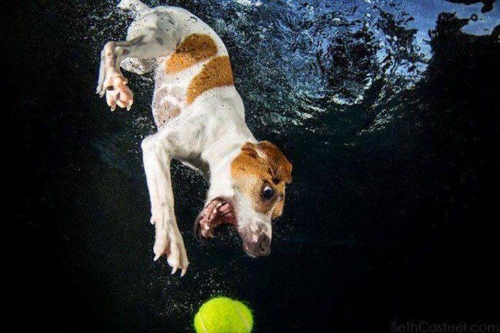 perro balnco y marron debajo del agua con pelota