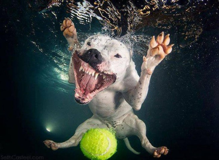 perro blanco dogo debajo del agua con pelota