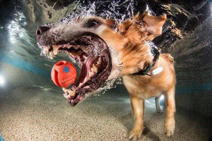 perro galgo debajo del agua con pelota