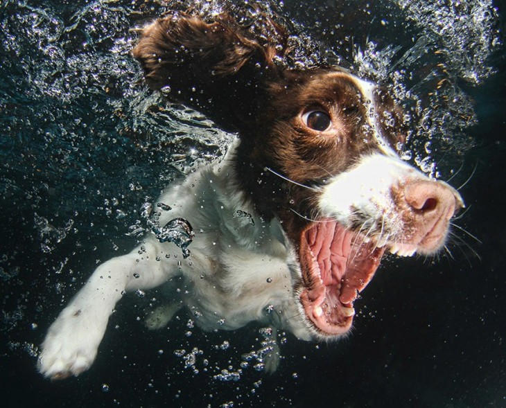 perro cocker spaniel ingles debajo del agua con pelota