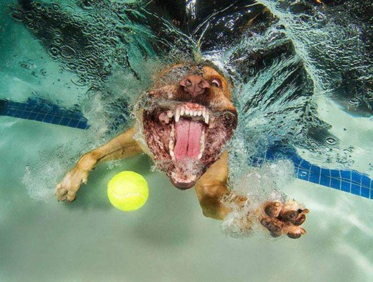 perro dogo debajo del agua con pelota