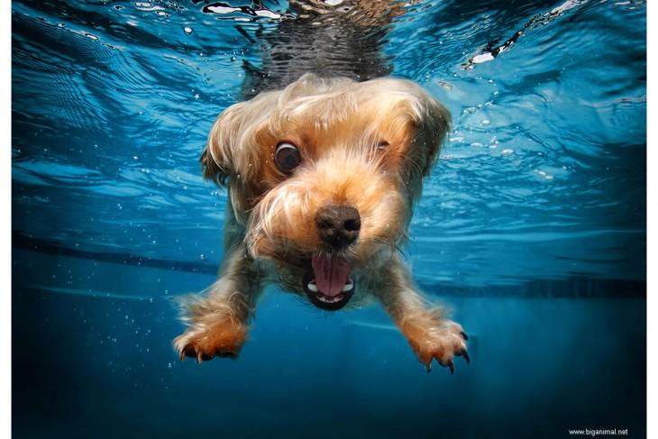 perro terrier debajo del agua con pelota