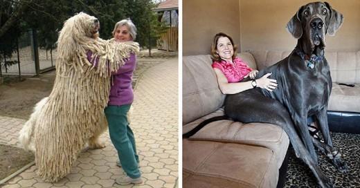 perros que son muy grandes y no se han dado cuenta