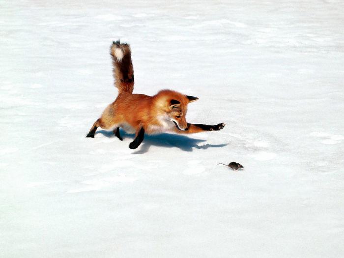 zorro persiguiendo un raton en la nieve