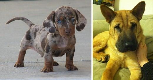 cruzas de razas de perros que te enamoraran