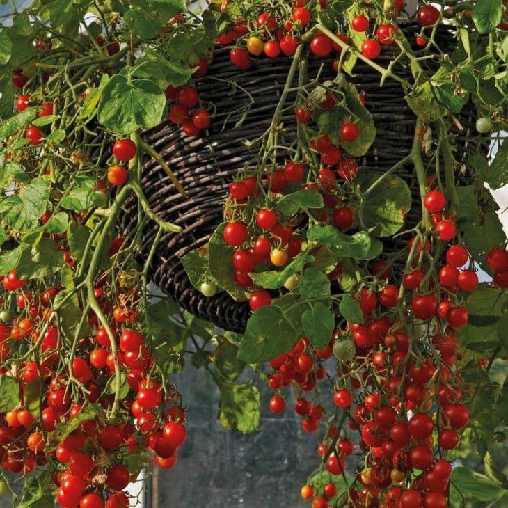 racimos de tomatitos cherry