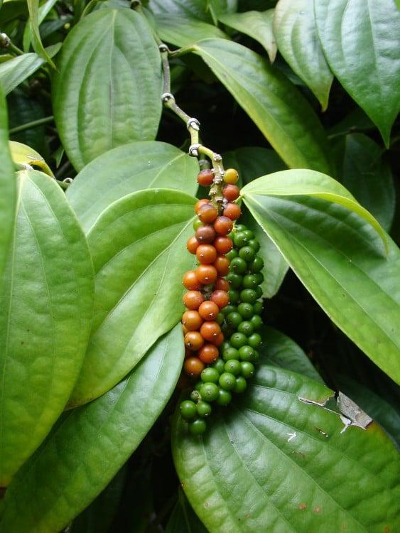 hoja con frutos de Pimienta negra