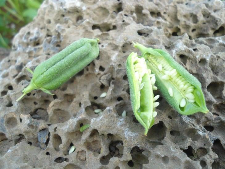 fruto de la planta de Sésamo