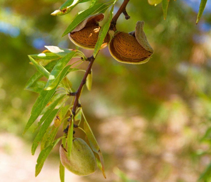 Almendras frutos
