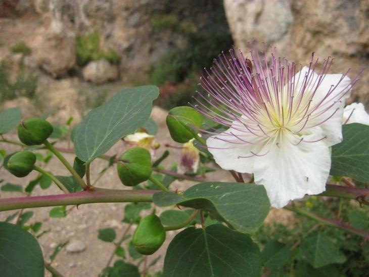 planta en flor de Alcaparras