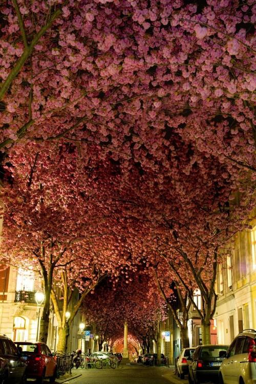 árbol con flores de cerezos forman un tunel en Bonn Argentina