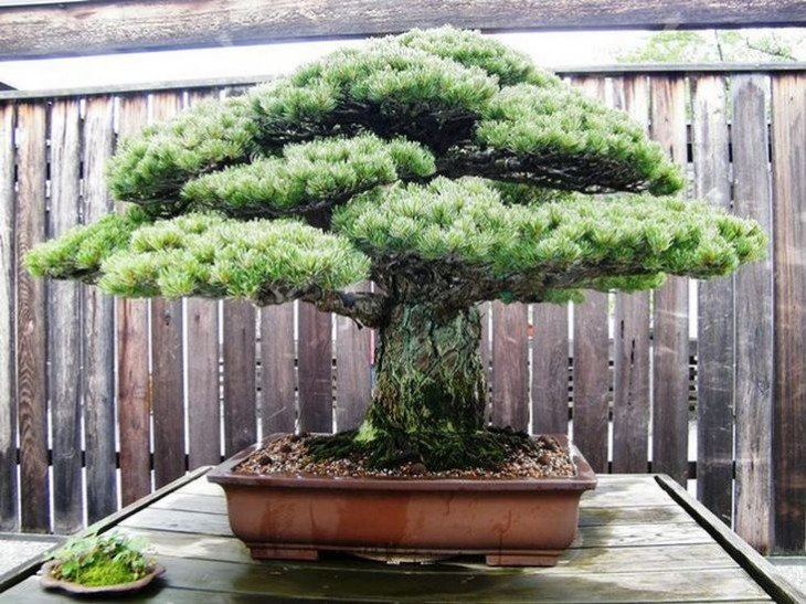 bonsái japonés de 400 años de edad