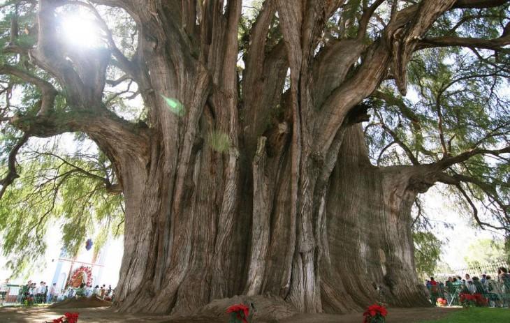 árbol del Tule en México