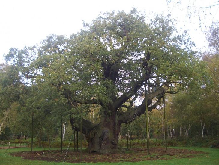 árbol roble mayor ubicado en un parque con una antigüedad de más de 1.000 años