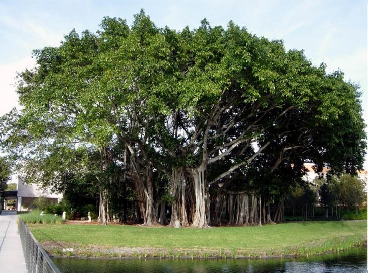 Banyan árbol