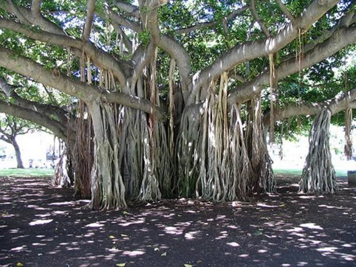 árbol Banyan ramas peculiares