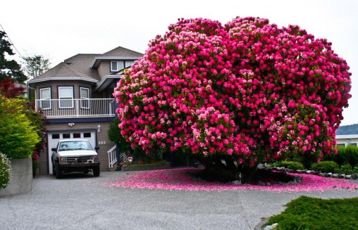 árbol en color rosa fuera de una casa