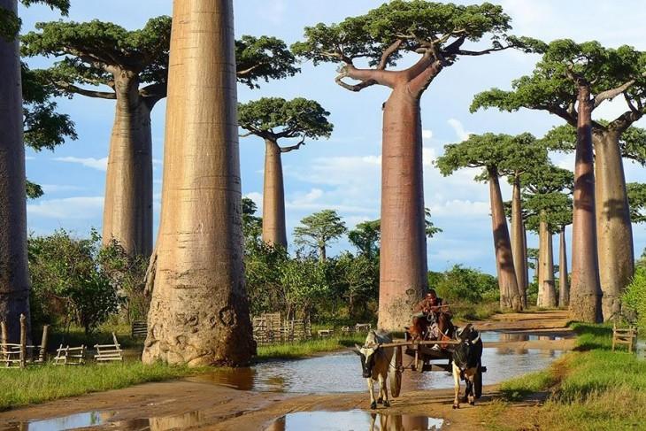 árboles boababs en áfrica