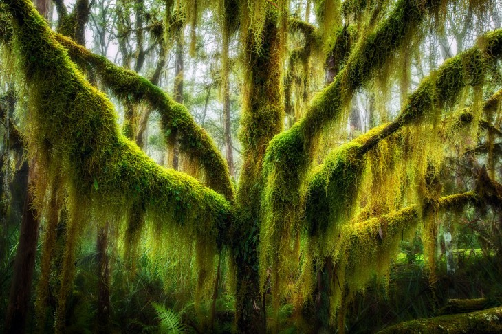 árboles con musgos colgando ubicado en Chile y Argentina