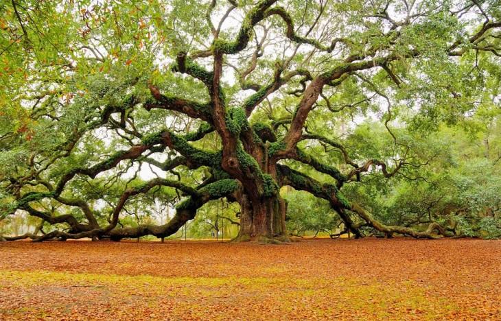 árbol ángel oak