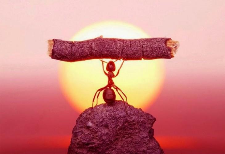 hormiga africana levanta una rama