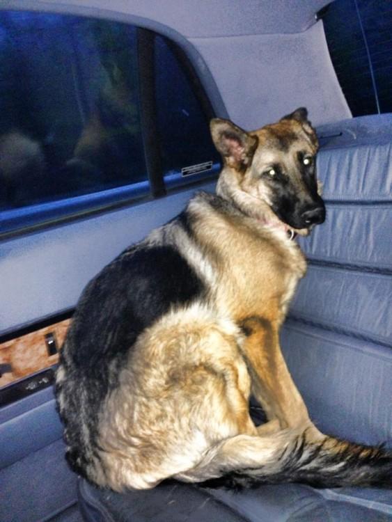 perro pastor aleman sentado en la cajuela de un carro